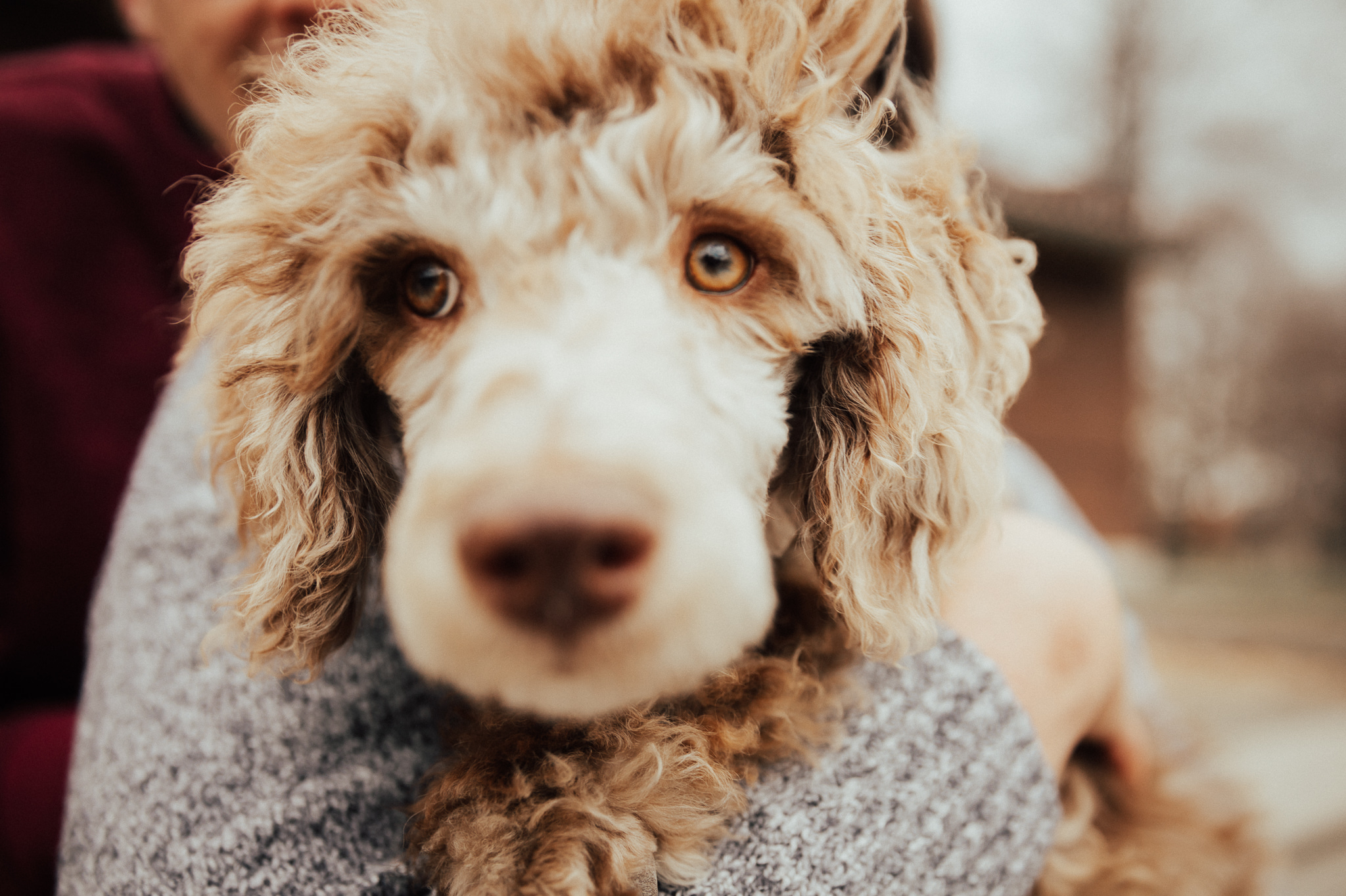 poodle engagement photos